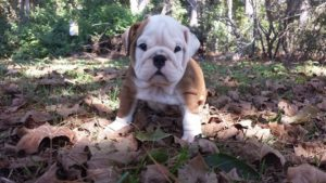 English Bulldog Puuppies for sale in South Carolina